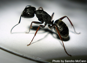 Get rid of ants without pesticides - Local Hazardous Waste ...